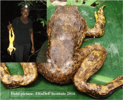 ERuDeF Institute researches amphibians at Mt Nlonako.png